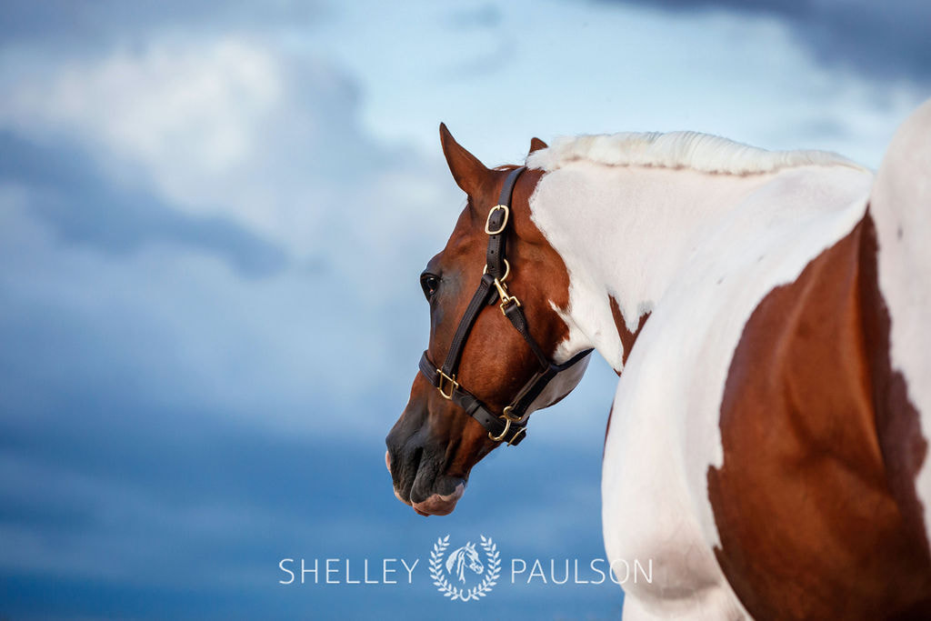 Carly Kade's Horse photographed by Shelley Paulson Photography